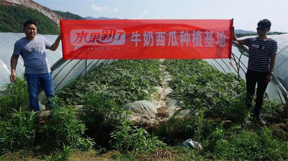 张家界牛奶西瓜种植基地.JPG